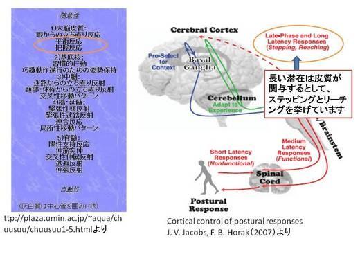 脳と姿勢制御・先行随伴性姿勢調整