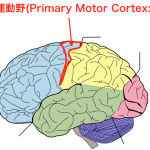 <脳科学トピック>脳画像で皮質脊髄路の損傷を把握すべき理由とは?