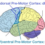 <脳科学トピック>リーチ動作とグラスプ動作の運動プログラムを作成する脳領域は?
