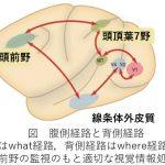 脳卒中(脳梗塞・脳出血)片麻痺のリハビリ:上肢のリーチその⑤ 神経学的側面~環境把握(視覚システム)~
