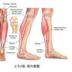 gastro(腓腹筋)とsoleus(ヒラメ筋)の役割の違い