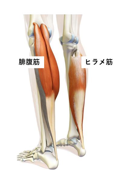 脳卒中×触診 【下腿三頭筋 腓腹筋―ヒラメ筋の起始停止:歩行の関係性 ...