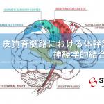 vol.403:皮質脊髄路における体幹筋の神経学的結合の存在 脳卒中/脳梗塞のリハビリ論文サマリー